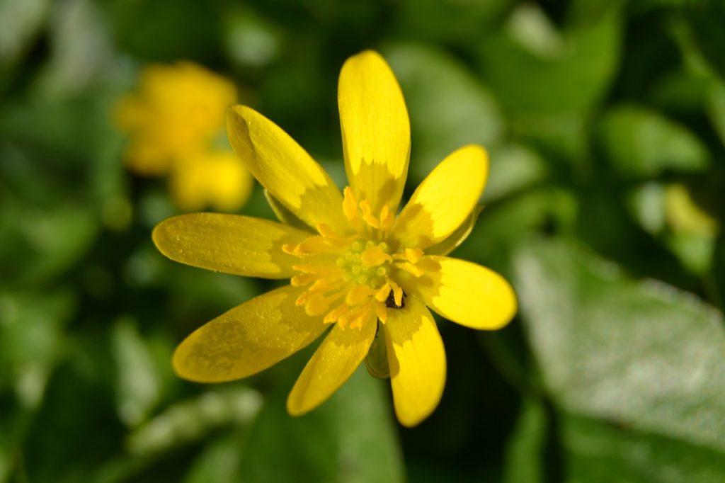 chelidoine-fleurs-marlay-cosmetics-bio